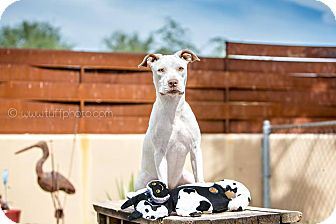American Pit Bull Terrier Mix Dog for adoption in Cave Creek, Arizona - Sansa