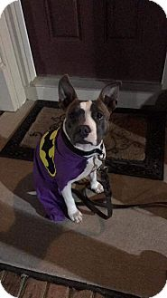 Pit Bull Terrier Mix Dog for adoption in Baltimore, Maryland - Erin