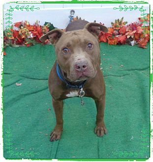 Pit Bull Terrier/American Pit Bull Terrier Mix Dog for adoption in Marietta, Georgia - HEMI