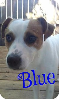 Chihuahua Mix Dog for adoption in Cantonment, Florida - Blue Boy