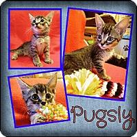 Adopt A Pet :: Pugsly - Brandon, FL