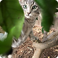 Domestic Shorthair Kitten for adoption in Dublin, California - Sheila