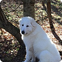 Adopt A Pet :: Yeti in New England! - Ascutney, VT