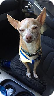 Chihuahua Mix Dog for adoption in Litchfield Park, Arizona - Bear