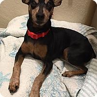 Adopt A Pet :: Harley - Windermere, FL