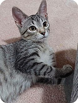Domestic Shorthair Cat for adoption in Cleveland, Ohio - Annabelle