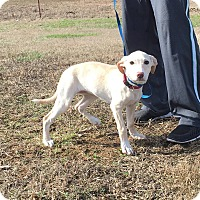Adopt A Pet :: Ivory - Harrisonburg, VA