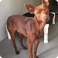 Adopt A Pet :: Ramses - Oceanside, CA