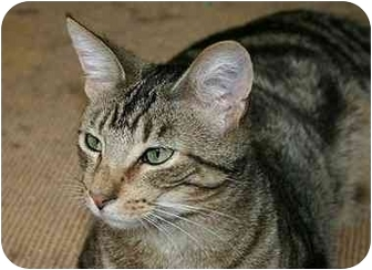 Domestic Shorthair Cat for adoption in Montgomery, Illinois - Stanley