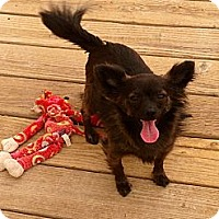 Papillon/Chihuahua Mix Dog for adoption in Thatcher, Arizona - Dylan