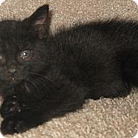 Adopt A Pet :: Chornaya - Dallas, TX
