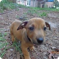 Adopt A Pet :: Andy - Warrenton, NC