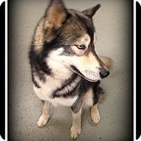 Adopt A Pet :: Storm - Indian Trail, NC