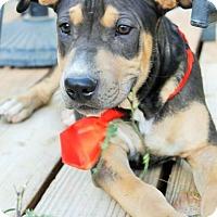 Adopt A Pet :: Jackson - Gilbert, AZ