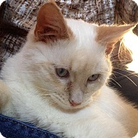 Adopt A Pet :: Clay Flame Point - McDonough, GA
