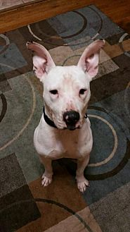 Dogo Argentino Mix Dog for adoption in Loganville, Georgia - Patrick