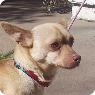 Chihuahua/Terrier (Unknown Type, Small) Mix Dog for adoption in San Jose, California - Pookie
