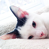 Adopt A Pet :: Sylvester - Xenia, OH