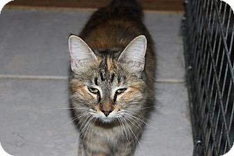 Domestic Mediumhair Cat for adoption in Mesa, Arizona - Jamie