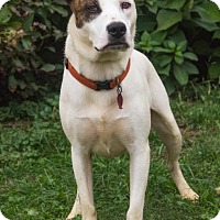 Adopt A Pet :: Able - Enfield, CT