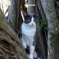 Adopt A Pet :: Caroline - Bonita Springs, FL