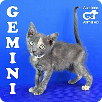 Adopt A Pet :: Gemini - Carencro, LA