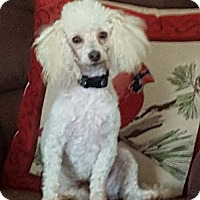 Poodle (Miniature) Dog for adoption in Lenoir, North Carolina - BELL (SRC#1814) IN NC