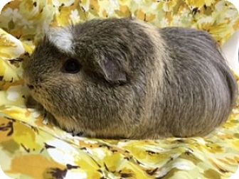 Guinea Pig for adoption in Montclair, California - Snickerdoodle
