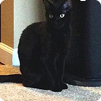 Domestic Shorthair Cat for adoption in Trevose, Pennsylvania - Onyx