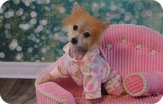 Pomeranian Dog for adoption in Dallas, Texas - Jennifer
