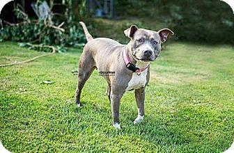 Pit Bull Terrier Mix Dog for adoption in Harrisburg, Pennsylvania - Gabby