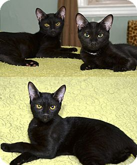 Bombay Kitten for adoption in Brooklyn, New York - The Shrimps: Bombays Steve, Julina, and Dottie