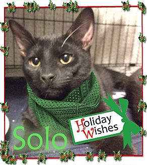 Domestic Shorthair Kitten for adoption in East Brunswick, New Jersey - Solo