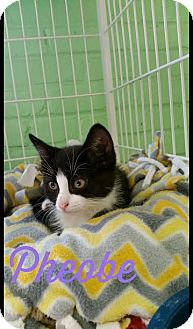 Domestic Shorthair Kitten for adoption in Bloomingdale, New Jersey - Pheobe