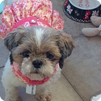 Shih Tzu Dog for adoption in Doylestown, Pennsylvania - Brooke