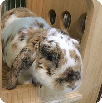 Mini Lop Mix for adoption in Moneta, Virginia - Spot