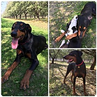 Doberman Pinscher Dog for adoption in Fresno, California - Yager