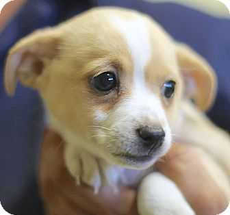 Rat Terrier Mix Puppy for adoption in Lakewood, Colorado - Emily