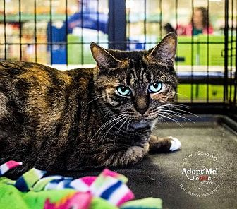 Domestic Shorthair Cat for adoption in Mooresville, North Carolina - A..  Adrian