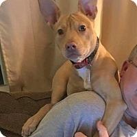 Adopt A Pet :: Butterscotch - Dayton, OH