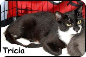 Domestic Shorthair Cat for adoption in Merrifield, Virginia - Tricia
