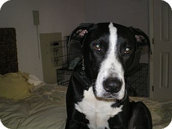 Shepherd (Unknown Type)/American Bulldog Mix Dog for adoption in Apex, North Carolina - Quincey