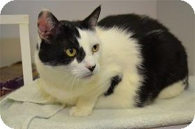 Domestic Shorthair Cat for adoption in Raleigh, North Carolina - Arwen Gigi (declawed)