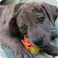 Adopt A Pet :: Jaylen - Richmond, VA