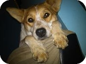 Shiba Inu/Cattle Dog Mix Dog for adoption in Springfield, Missouri - Sheba