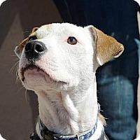 Adopt A Pet :: Sazerac - Austin, TX