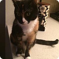 Adopt A Pet :: Boxy - Santa Monica, CA