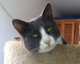 Domestic Mediumhair Cat for adoption in Stanhope, New Jersey - Benny