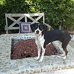 Photo 2 - Rat Terrier Mix Dog for adoption in Burbank, California - Bella Luna