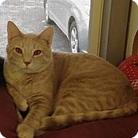 Domestic Shorthair Cat for adoption in Savanna, Illinois - Cash